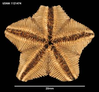 To NMNH Extant Collection (Hymenaster edax, ventral)