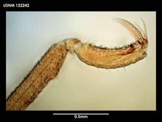 To NMNH Extant Collection (Achelia communis (1) 122242)