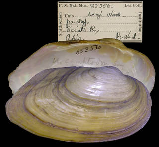 To NMNH Extant Collection (IZ MOL 85356 Unio sayii Paratype)