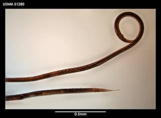 To NMNH Extant Collection (Sabatieria antarctica 51280)