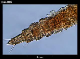 To NMNH Extant Collection (Quadricoma curvicauda (1) 50016)