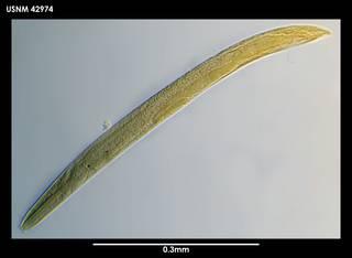 To NMNH Extant Collection (Panagrolaimus davidi 42974)
