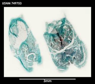 To NMNH Extant Collection (Alexandromenia latosoleata (1) 749753)