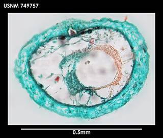 To NMNH Extant Collection (Dorymenia acutidentata (1) 749757)