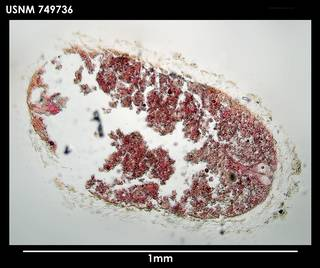 To NMNH Extant Collection (Gephyroherpia antarctica 749736)