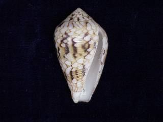 To NMNH Extant Collection (IZ MOL 876346 Ventral)