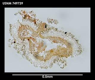 To NMNH Extant Collection (Ocheyoherpia lituifera (1) 749739)