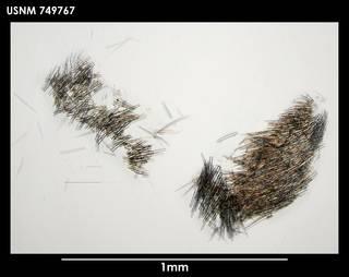 To NMNH Extant Collection (Simrothiella schizoradulata 749767)