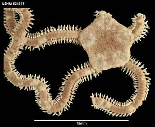 To NMNH Extant Collection (Ophiophragmus chilensis, dorsal)