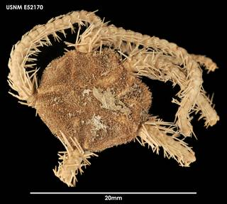 To NMNH Extant Collection (Ophiacantha frigida (1) E52170)