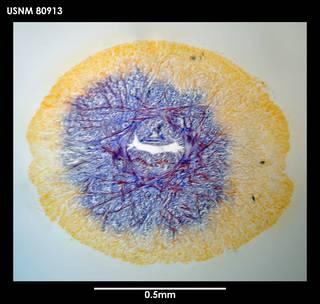 To NMNH Extant Collection (Dokonemertes magellanensis, photo 1)