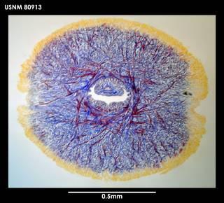 To NMNH Extant Collection (Dokonemertes magellanensis, photo 2)