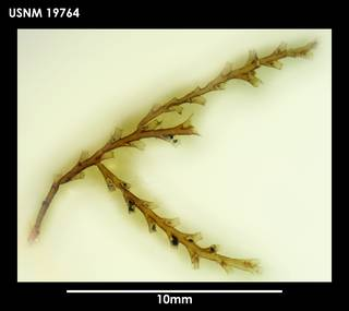 To NMNH Extant Collection (Sertularella magellanica 19764)