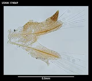 To NMNH Extant Collection (Micronereis antarctica 174069)