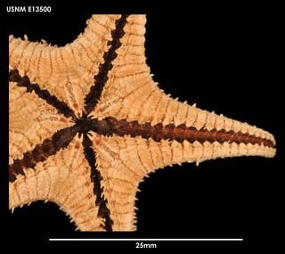 To NMNH Extant Collection (Ctenodiscus procurator E13500)