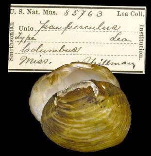 To NMNH Extant Collection (IZ MOL 85763 Unio pauperculus Holotype)