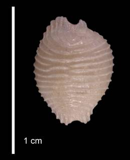 To NMNH Extant Collection (IZ MOL 281649 Paratype Shell dorsal view)