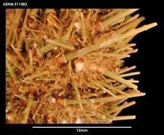 To NMNH Extant Collection (Loxechinus albus (3) E11483)
