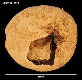 To NMNH Extant Collection (Amphipneustes koehleri (1) 1016573)