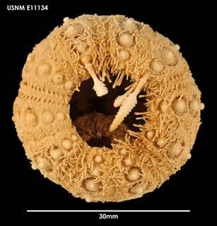 To NMNH Extant Collection (Aporocidaris usarpi (1) E11134)