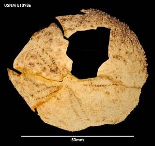 To NMNH Extant Collection (Amphipneustes brevisternalis E10986)