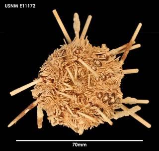 To NMNH Extant Collection (Ctenocidaris geliberti (2) E11172)
