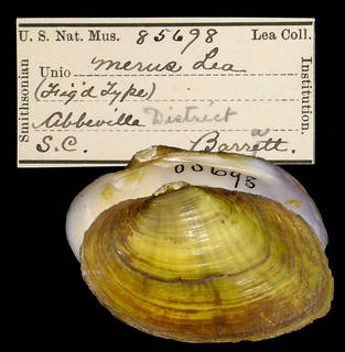 To NMNH Extant Collection (IZ MOL 85698 Unio merus Holotype)