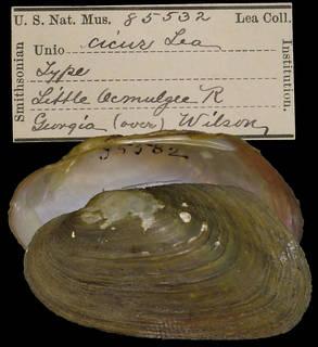 To NMNH Extant Collection (IZ MOL 85532 Unio circur Holotype)