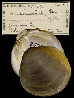 To NMNH Extant Collection (IZ MOL 85734 Unio circulus Type)