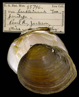 To NMNH Extant Collection (IZ MOL 85746 Unio beadleianus Paratype)