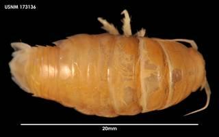 To NMNH Extant Collection (Natatolana oculata 173136)