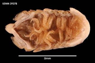 To NMNH Extant Collection (Cymodocella tubricanda (1) 39378)
