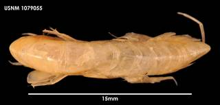 To NMNH Extant Collection (Ampelisca barnardi dorsal 1079055)