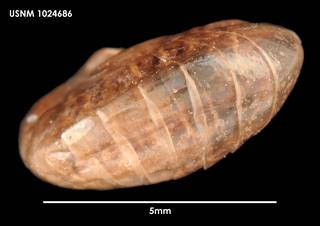 To NMNH Extant Collection (Andaniotes linearis (1) 1024686)