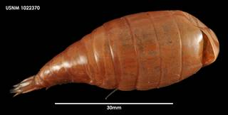 To NMNH Extant Collection (Parandania gigantea (1) 1022370)