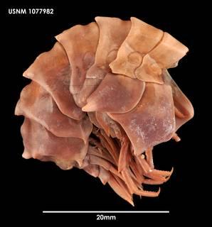 To NMNH Extant Collection (Epimeria georgiana 1077982)