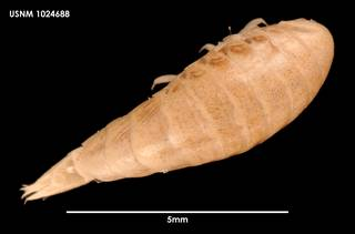 To NMNH Extant Collection (Andaniotes corpulentus (1) 1024688)