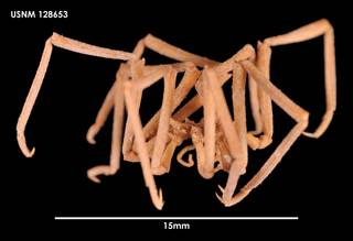 To NMNH Extant Collection (Austroraptus praecox (2) 128653)