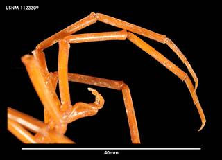 To NMNH Extant Collection (Colossendeis wilsoni (4) 1123309)
