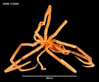 To NMNH Extant Collection (Colossendeis wilsoni (3) 1123309)