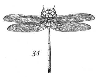 To NMNH Extant Collection (Illustration 002305)