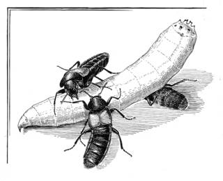 To NMNH Extant Collection (Illustration 002337)