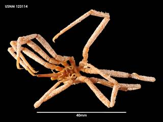 To NMNH Extant Collection (Ammothea longispina (2) 123114)