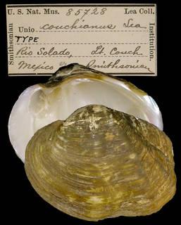 To NMNH Extant Collection (IZ MOL 85728 Unio couchianus Type)
