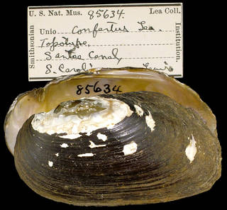 To NMNH Extant Collection (IZ MOL Unio confertus Type)