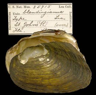 To NMNH Extant Collection (IZ MOL 85715 Unio blandingianus Holotype)