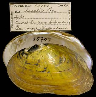 To NMNH Extant Collection (IZ MOL 85703 Unio basalis Holotype)