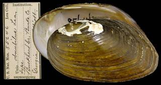 To NMNH Extant Collection (IZ MOL 85846 Unio obnubilus Holotype)