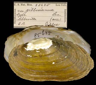To NMNH Extant Collection (IZ MOL 85685 Unio gibbesianus)