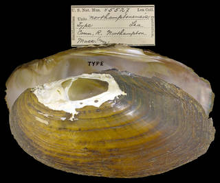 To NMNH Extant Collection (IZ MOL 85527 Unio northamptonensis Holotype)